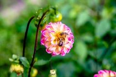 Dos abejas recogen el polen de la flor Fotografía de archivo libre de regalías