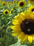 Dos abejas se están sentando en el girasol Imágenes de archivo libres de regalías