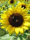 Dos abejas se están sentando en un girasol Imágenes de archivo libres de regalías