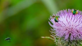 Dos abejas verdes y abeja negra entrante Imagen de archivo libre de regalías