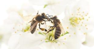 Dos abejas y flores blancas Imagenes de archivo