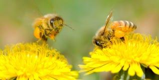Dos abejas y flores del diente de león Imágenes de archivo libres de regalías