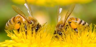 Dos abejas y flores del diente de león imagen de archivo libre de regalías