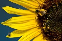 Dos abejas y un insecto en los pétalos amarillos brillantes del girasol Foto de archivo libre de regalías