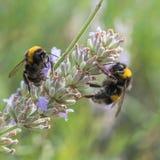 Dos abejorros en la flor de la lavanda Imagenes de archivo
