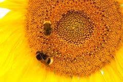 Dos abejorros en un girasol floreciente Foto de archivo
