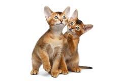 Dos abisinio juguetón Kitty Sitting en fondo blanco aislado imágenes de archivo libres de regalías