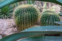 Dos agazapados, los cactus regordetes se sientan entre algunas rocas con las hojas largas a fotografía de archivo libre de regalías