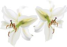 Dos aislaron las floraciones del lirio blanco Imágenes de archivo libres de regalías