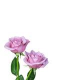 Dos aislaron rosas rosadas Foto de archivo