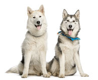 Dos Alaskan Malamut, sentada y jadeo Fotos de archivo