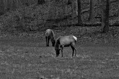 Dos alces blancos y negros que se colocan y que comen en un bosque imagen de archivo libre de regalías