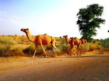 Dos allant conway de chameaux ? leur champ images stock