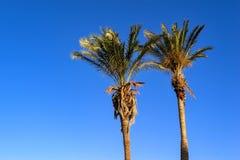 Dos altas palmeras Imagen de archivo libre de regalías