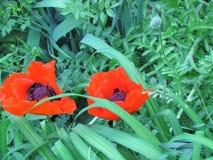 Dos amapolas rojas Fotos de archivo