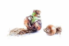 Dos Amaryllis Bulbs en el fondo blanco Fotografía de archivo libre de regalías