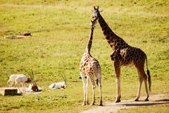 Dos amigos de la jirafa Imagenes de archivo