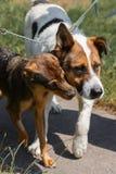 Dos amigos del perro en un paseo en el parque, concepto del refugio para animales Fotos de archivo
