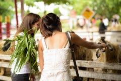 Dos amigos multi-étnicos jovenes de la mujer que alimentan las ovejas pasan el hav imagen de archivo libre de regalías