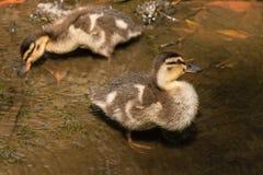 Dos anadones del pato silvestre que buscan para la comida Fotografía de archivo libre de regalías
