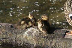 Dos anadones del pato silvestre que se sientan en un registro fotografía de archivo libre de regalías