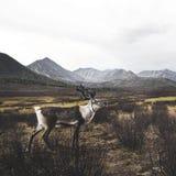 Dos animais selvagens animais cênicos bonitos da natureza dos cervos conceito rural Imagem de Stock Royalty Free