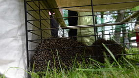 Dos animales del erizo se cierran en jaula del cautiverio y la gente camina almacen de video