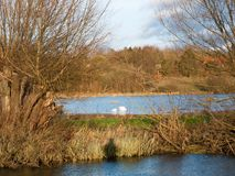 dos animales lejanos del otoño del invierno del agua de la familia de los cisnes fotografía de archivo