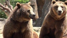 Dos animales salvajes de los osos de Brown almacen de video