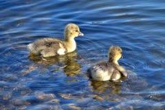 Dos ansarones del ganso silvestre en el agua azul clara Foto de archivo