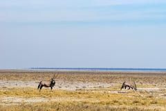 Dos antílopes del gemsbok en la sabana Fotos de archivo