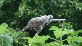 Dos (apenas izquierdo la jerarquía) palomas jovenes de la cebra y relajación en la rama de árbol almacen de video