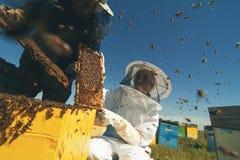 Dos apicultores que comprueban el panal de una colmena Imagen de archivo libre de regalías