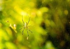 Dos arañas en el primer del web (telaraña) Fotos de archivo libres de regalías