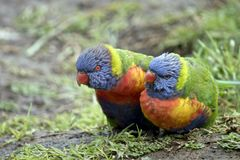 Dos arco iris Lorikeets Imágenes de archivo libres de regalías