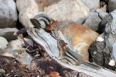 Dos ardillas listadas Imagenes de archivo