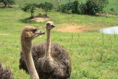 Dos avestruces Fotografía de archivo libre de regalías