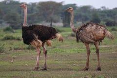 Dos avestruces Imágenes de archivo libres de regalías