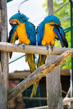 Dos azules y loros amarillos del Macaw Imagen de archivo
