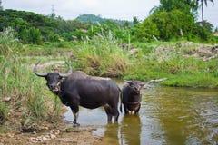 Dos búfalos. Imagen de archivo