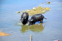 Dos búfalos Foto de archivo