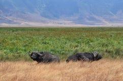 Dos búfalos adentro se relajan imagen de archivo libre de regalías