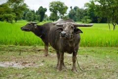 Dos búfalos de agua Foto de archivo libre de regalías