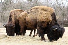 Dos búfalos de pasto, República Checa, Europa Imagen de archivo