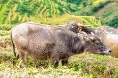 Dos búfalos junto más adelante después de campos colgantes del lado del trabajo Fotografía de archivo libre de regalías