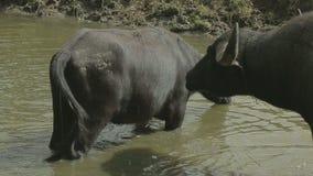 Dos búfalos salvajes en una charca metrajes
