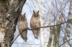 Dos búhos de orejas alargadas en primavera en bosque del abedul Foto de archivo libre de regalías