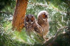 Dos búhos jovenes Fotos de archivo