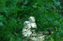 Dos búhos jovenes Fotos de archivo libres de regalías