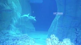 Dos ballenas blancas grandes nadan en un acuario grande almacen de metraje de vídeo